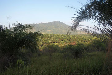 The forests are being lost to Imperata grass and palm oil plantations like the ones above.