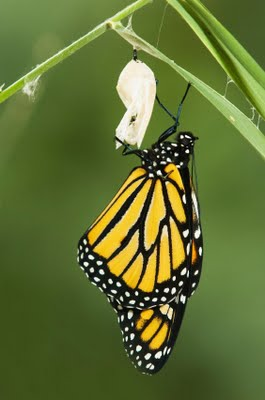 butterfly_cocoon_emergence_leadership