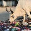 cow_India_design